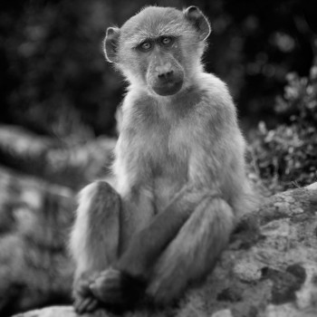 Young Baboon at Kommetjie ©anneberry