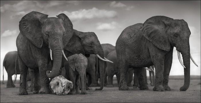 photoeye. Brandt. Elephant w_ Skull