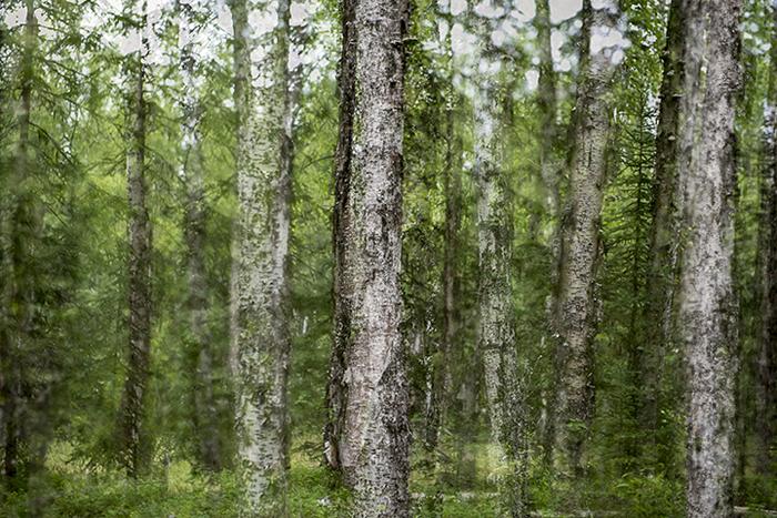 "Dan Shepherd ""Alaska Trees #8"""