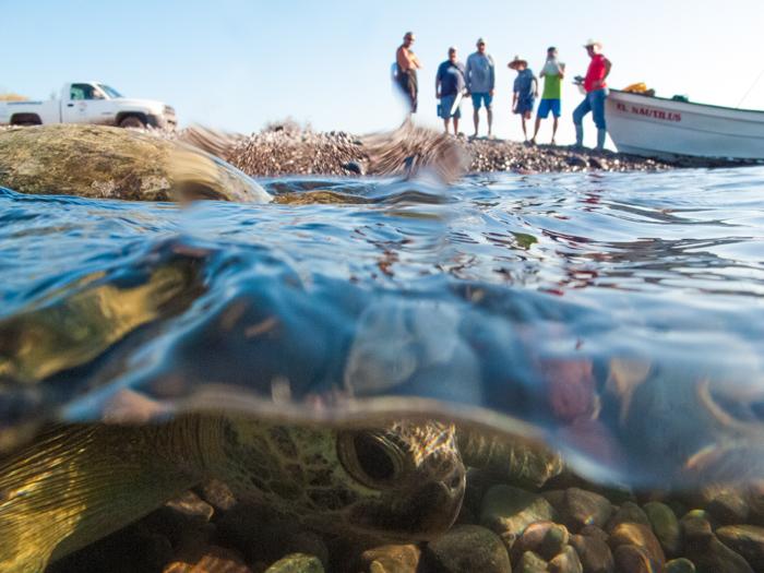 Former Turtle Poachers Tagging Turtles. Loreto, Mexico